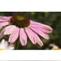 yachus-echinacee-hiver-immunite