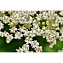 yachus-tisane-sureau-fleurs-rhume-bronchite-grippe