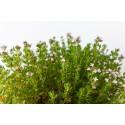 yachus-tisane-thym-infection-respiratoire-poumons-hiver